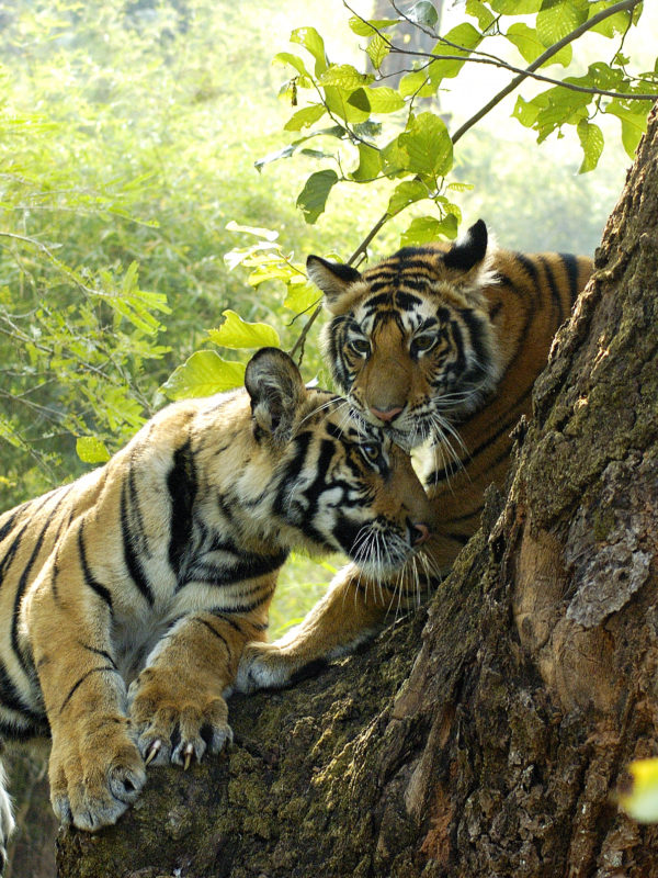 Tiger cubs at Bandhavgarh