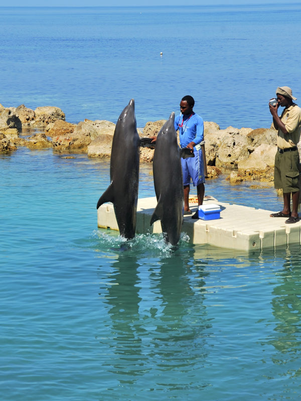Dolphins in Jamaica