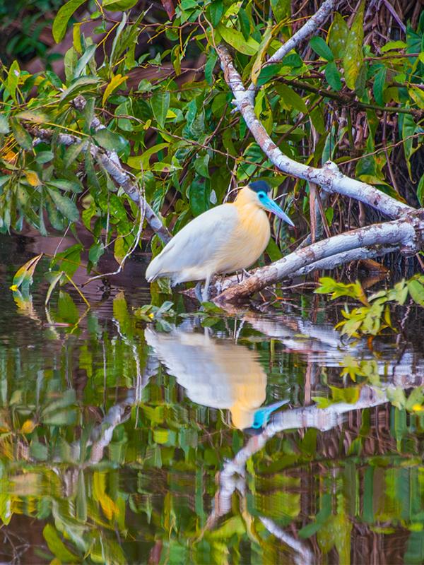 Peru Amazon Bird